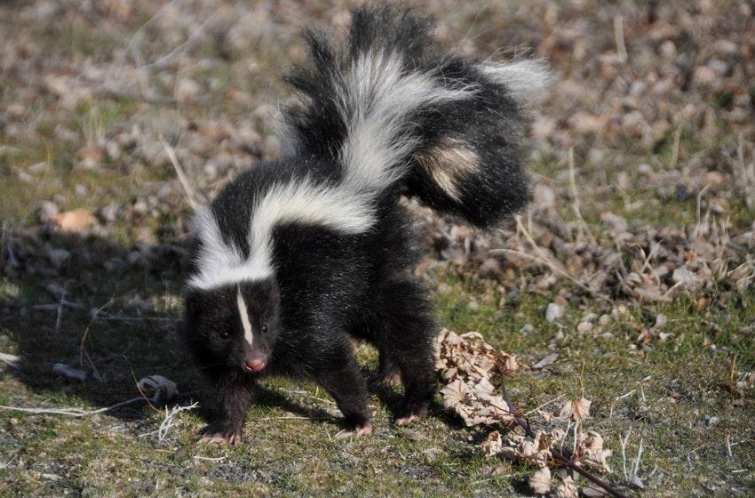 Skunks Eat Plants