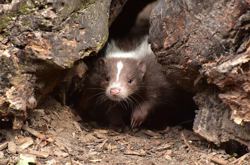 Skunks Eat