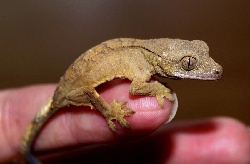 When to Feed Your Baby Geckos