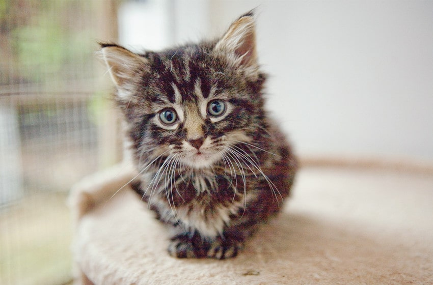 agouti tabby cats