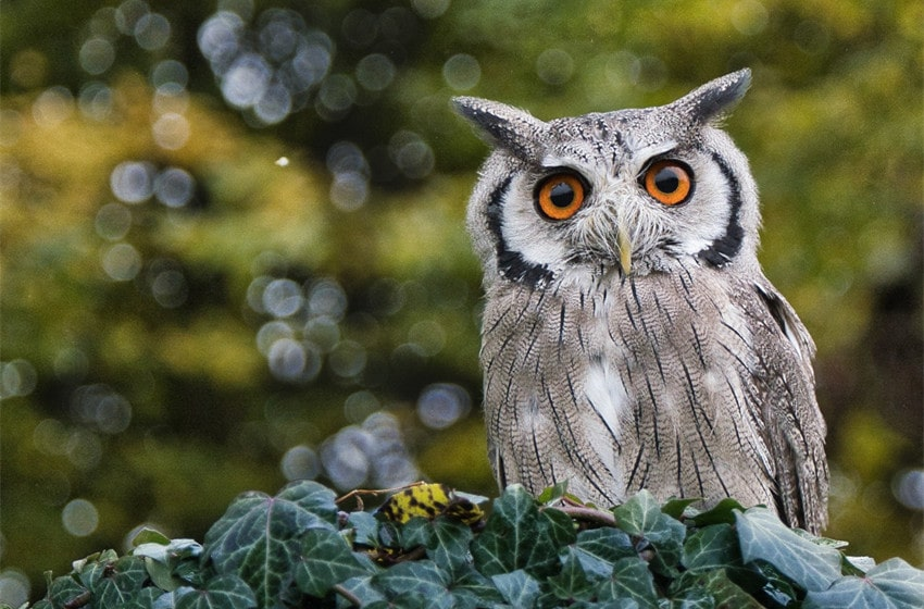 is it legal to own an owl