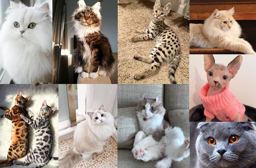 Top 11 Most Expensive Cat Breeds in the World