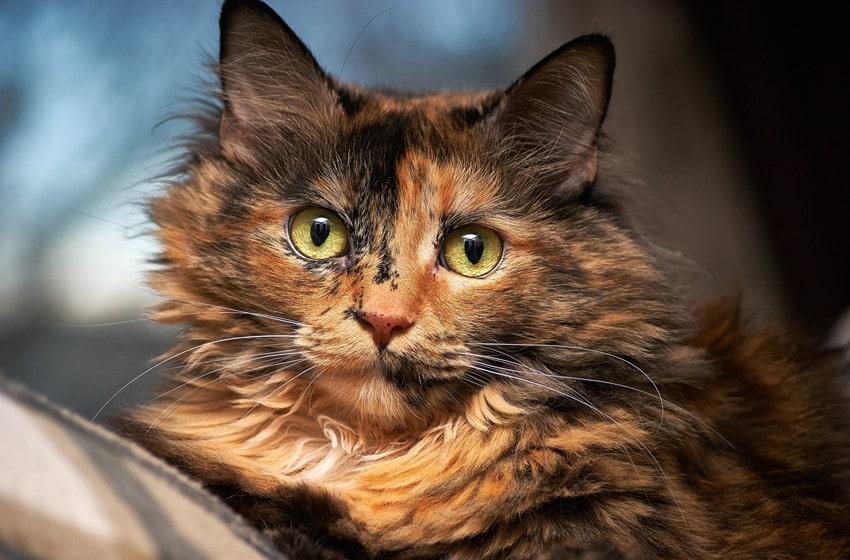 tortoiseshell tabby cats