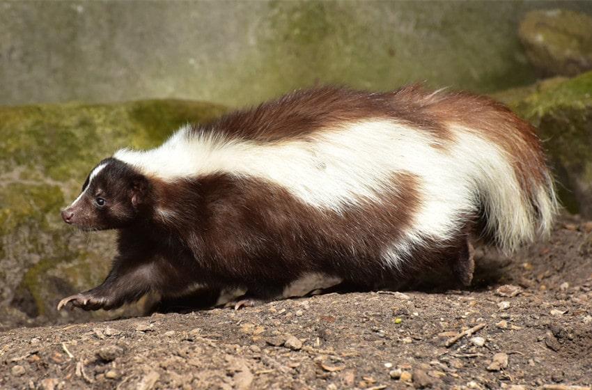 what do skunks eat